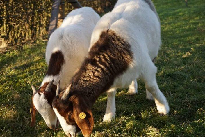 Møllehusets geder